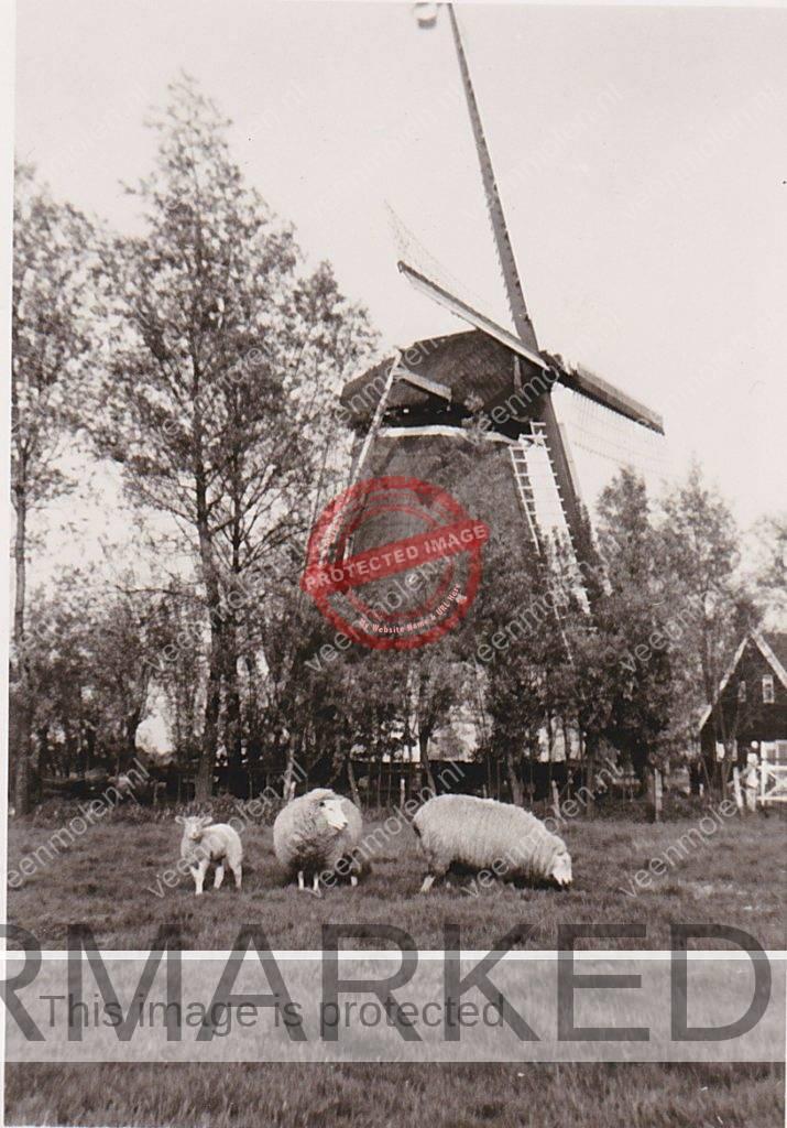 Molen met schapen uit eigen archief
